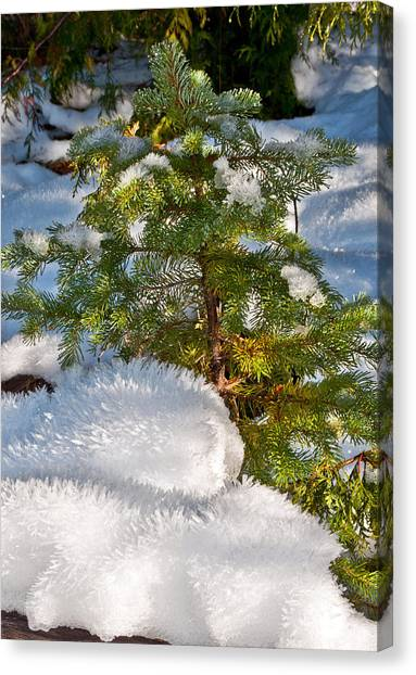 Young Winter Pine Canvas Print
