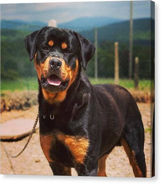 Rottweilers Canvas Print - You've Got To Ask Yourself, Do You by Mark Noble
