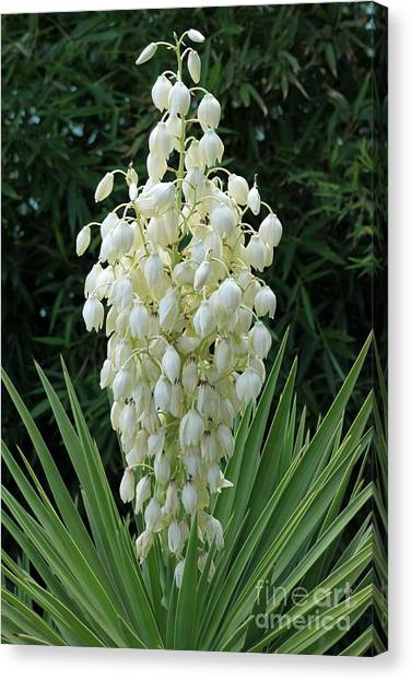 Canvas Print - Yucca Blossoms by Christiane Schulze Art And Photography