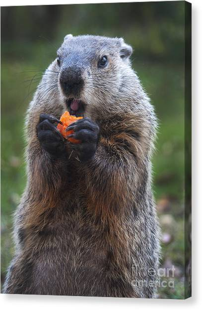 Groundhog Canvas Print - Yum-yum by Paul W Faust -  Impressions of Light