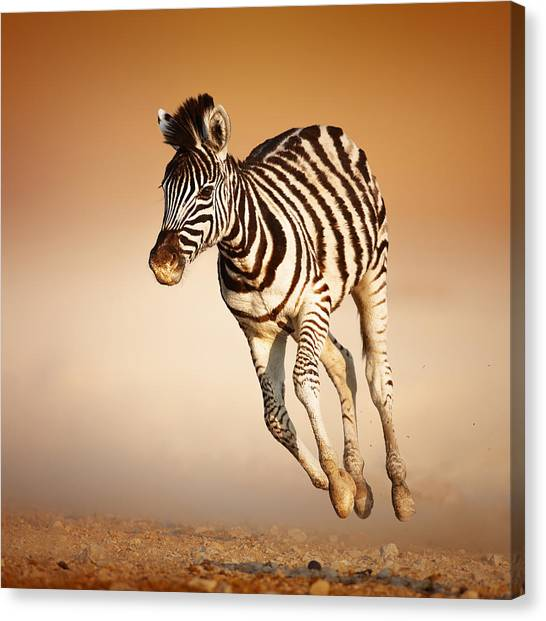 Sandy Desert Canvas Print - Zebra Calf Running by Johan Swanepoel
