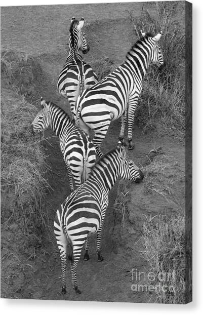 Zebras Canvas Print - Zebra Design by Carol Walker