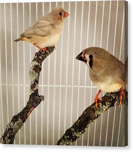 Birds Canvas Print - Zebra Finches by Christy Beckwith