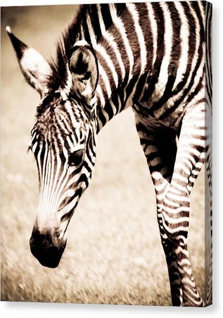 Zebra Foal Sepia Tones Canvas Print