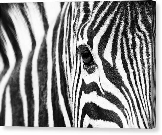 Zebra Gaze Canvas Print