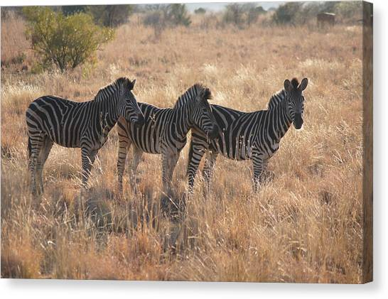 South African Canvas Print - Zebra by Gerbrandt Steyn