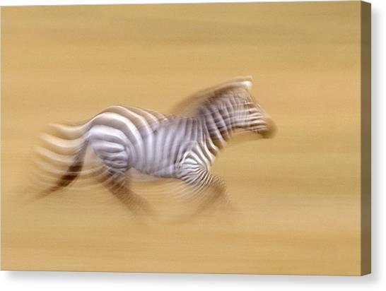 Kenyan Canvas Print - Zebra In Motion Kenya Africa by Panoramic Images