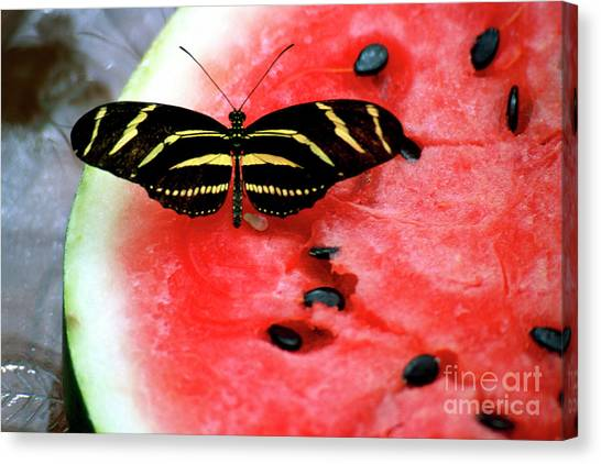 Zebra Longwing Butterfly On Watermelon Slice Canvas Print