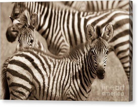 Zebra Stripes Galore Canvas Print