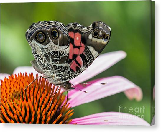Butterfly Feeding Canvas Print