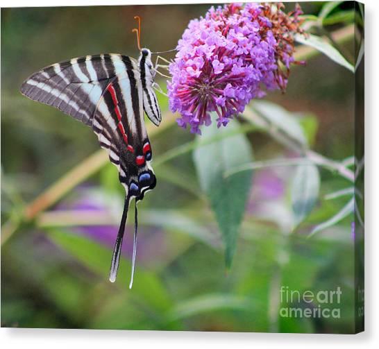 Zebra Swallowtail Butterfly On Butterfly Bush  Canvas Print