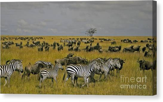 Zebras And Wildebeast   #0861 Canvas Print