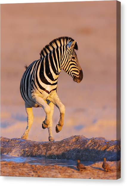 Zebras Canvas Print - Zebras Jump From Waterhole by Johan Swanepoel