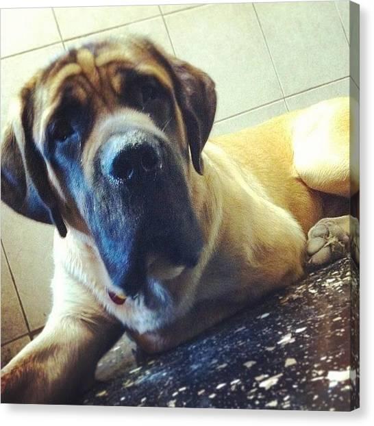 Mastiffs Canvas Print - Zeus #dogsofinstagram #doggiedaycare by Stephanie Johnson