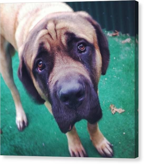 Mastiffs Canvas Print - Zeus.  #mastiff #doggiedaycare by Stephanie Johnson