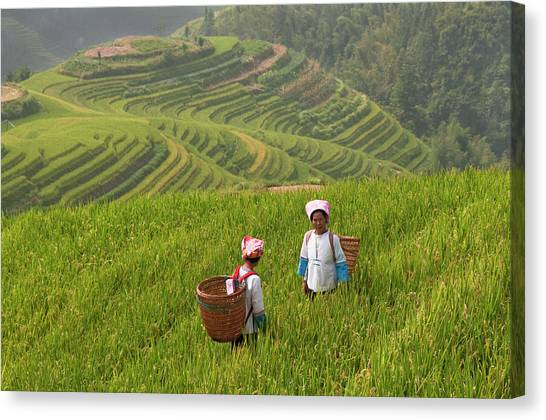 Zhuang Minority Women Walk Through Rice Canvas Print