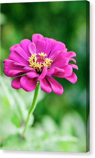 Zinnia Flower (zinnia Sp.) Canvas Print by Gustoimages/science Photo Library