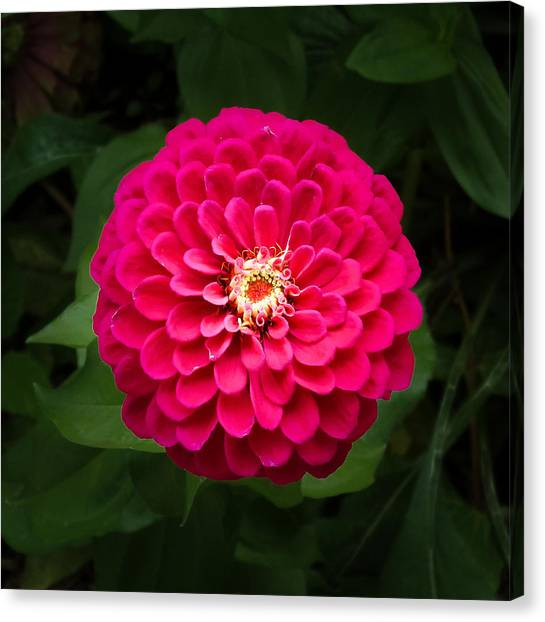 Zinnia In Bloom Square Canvas Print