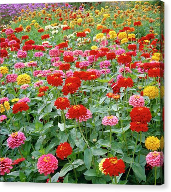 Zinnia Ruffles. Canvas Print by Anthony Cooper/science Photo Library