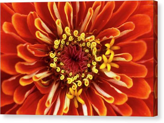 Zinnia (zinnia 'dreamland Coral') Canvas Print by Jane Sugarman/science Photo Library