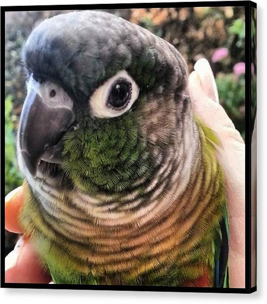 Parrots Canvas Print - Zippy Bird Pondering His Next Plot Of by Kevin Previtali