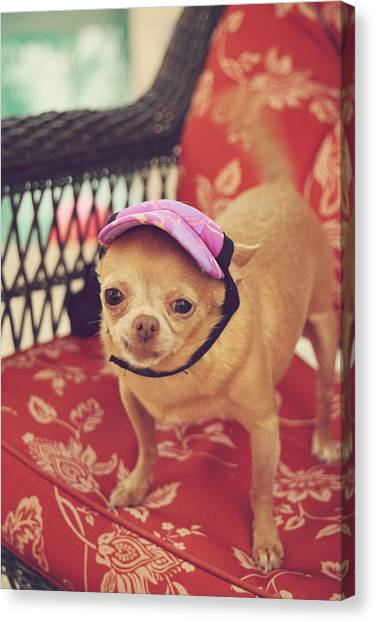 Chihuahuas Canvas Print - Zoe's Visor by Laurie Search