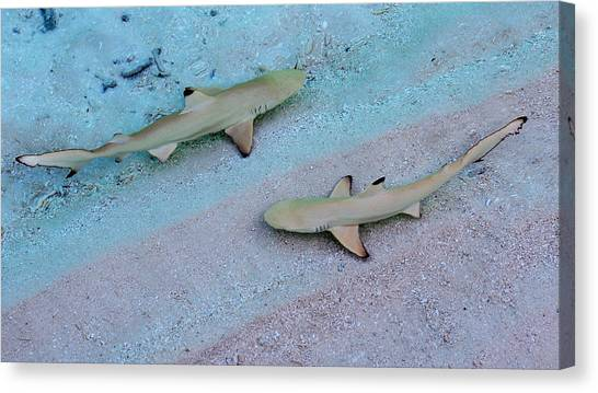 White Tip Sharks Canvas Print - Zone Control. Babies Of Black Tip Sharks by Jenny Rainbow