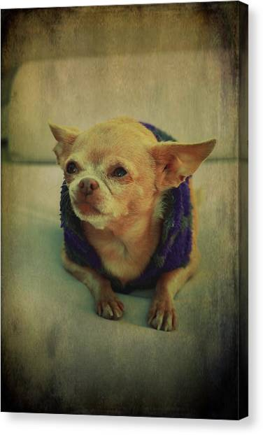 Chihuahuas Canvas Print - Zozo by Laurie Search
