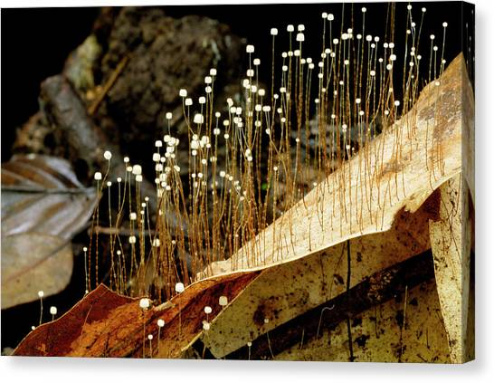 Tropical Rainforests Canvas Print - Zygomycete Fungus by Sinclair Stammers/science Photo Library