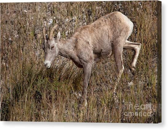 Bighorn Ewe Canvas Print
