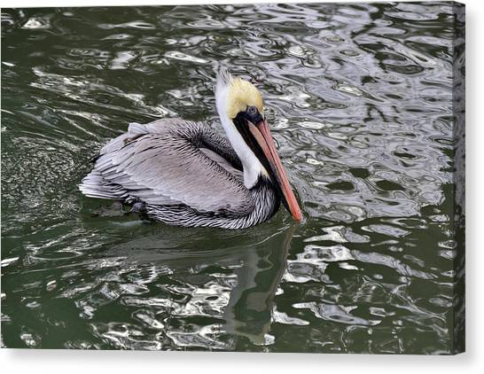 Brown Pelican Canvas Print