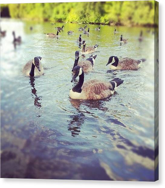 Geese Canvas Print - # #goose #canada #canadian #wildlife by Jake Delmonte