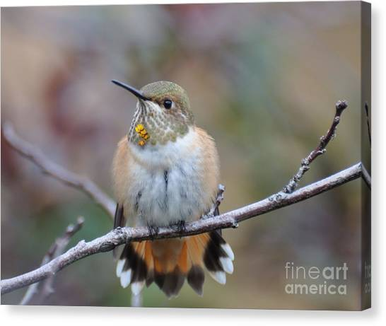 Hummingbird Stretch Six Canvas Print