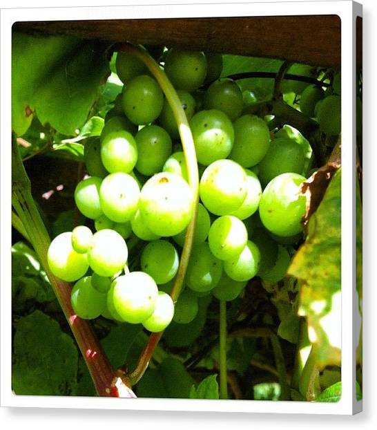 Grapes Canvas Print - # #iphoneography #lux #grapes #mygarden by Baz Twyman