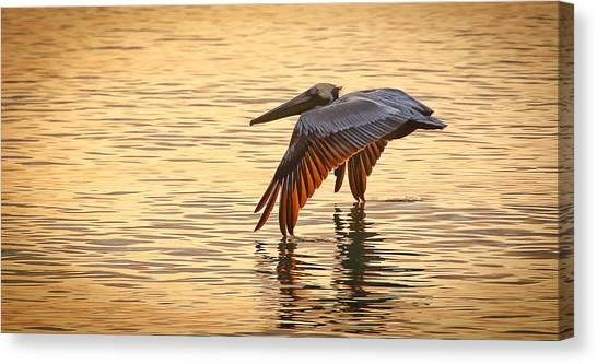 Pelican At Sunset Canvas Print