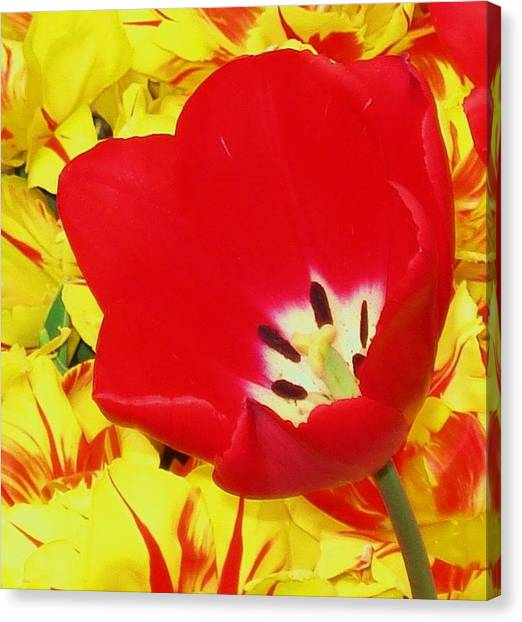 Single Red Tulip Canvas Print by Jolie Maybaum