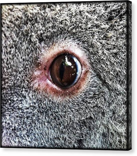 Koala Canvas Print - ... Yet Another In The Eyes Of A Wild by Brian Cassey