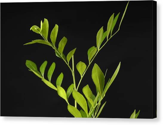 Coffee Plant Canvas Print - A Coffee Plant Coffea Arabica by Joel Sartore
