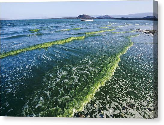 Algal Bloom Canvas Print by Alexis Rosenfeld