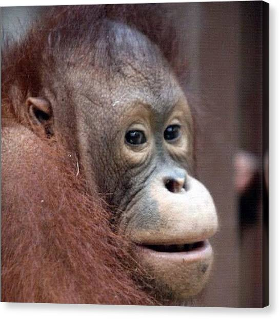 Orangutans Canvas Print - #aroundtheworldexa #sepilok #monkey by Steve Woods