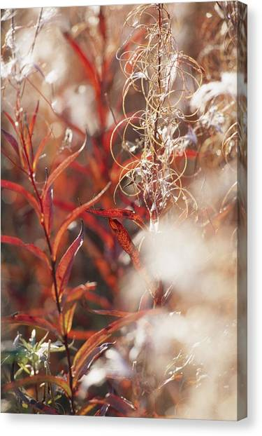 Northwest Territories Canvas Print - Autumn Colored Meadow Grasses by Raymond Gehman