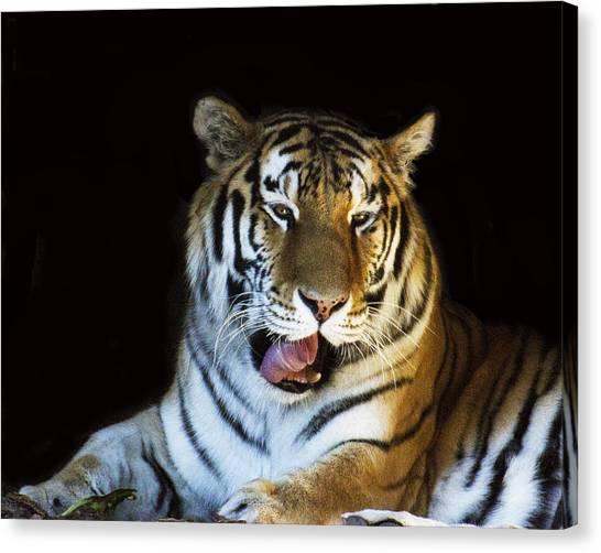 Awaking Tiger Canvas Print