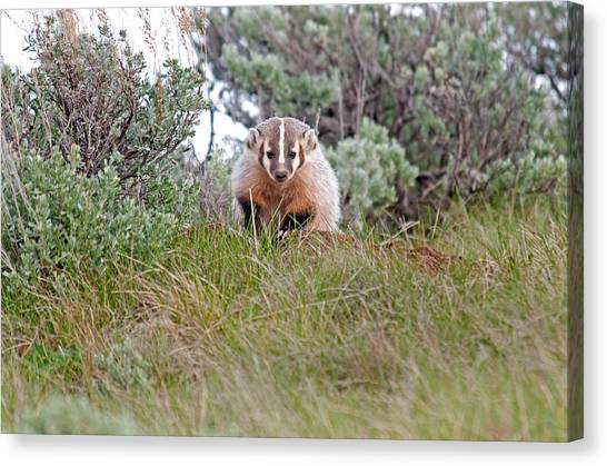 Badger Canvas Print by Elijah Weber