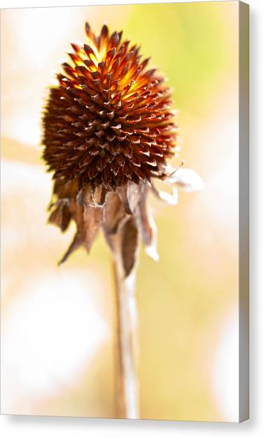 Black-eyed Susan After The Winter Canvas Print