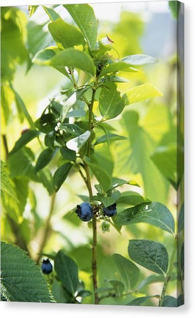 Blueberries (vaccinium Sp.) Canvas Print by Veronique Leplat