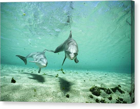 Bottlenose Dolphins Canvas Print - Bottlenose Dolphin Pair Hawaii by Flip Nicklin