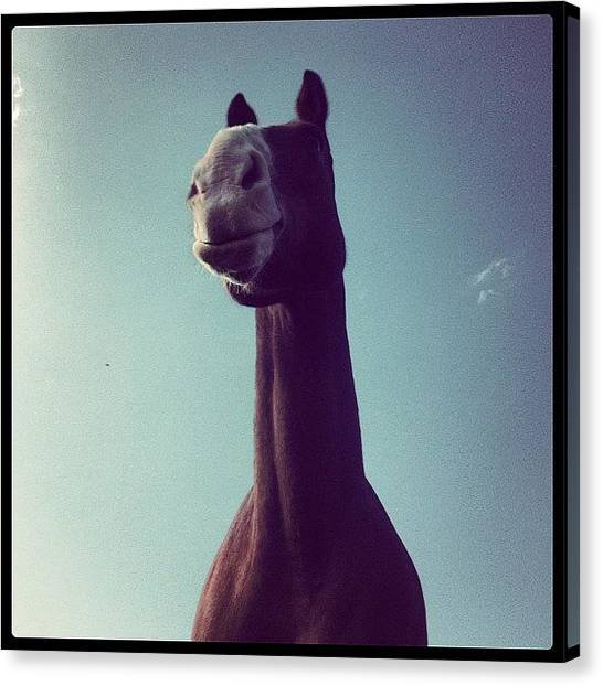 Ponies Canvas Print - Bubba :* #horses #hunters #sky #grass by Caitlin Hay