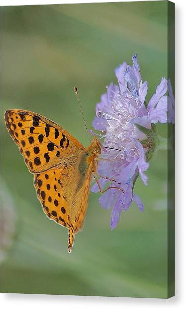 Butterfly On Right Position Canvas Print by Meeli Sonn