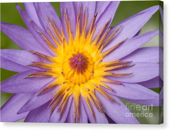Cape Lily Canvas Print - Cape Blue Waterlily Nymphaea Capensis by Ted Kinsman