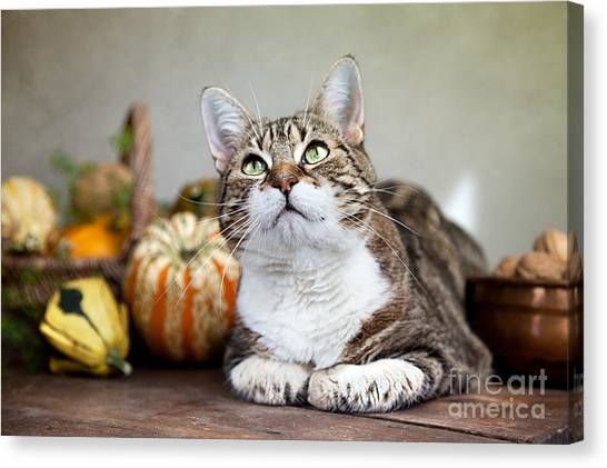 Pumpkins Canvas Print - Cat And Pumpkins by Nailia Schwarz